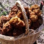 Первые весенние грибы — сморчки и строчки. Где собирать и как готовить?!