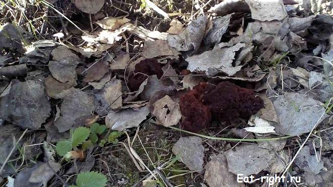 первые весенние грибы 9
