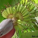 Как растут бананы Фото-отчёт в деталях