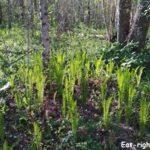 Съедобный папоротник «Страусник обыкновенный» — где его найти в лесу и как понять, что это именно он