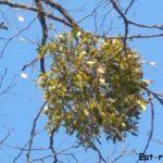 Омела белая. Лечебные свойства удивительного растения